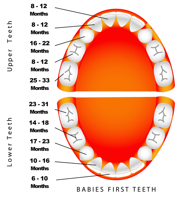 Primary Eruption Tooth Chart